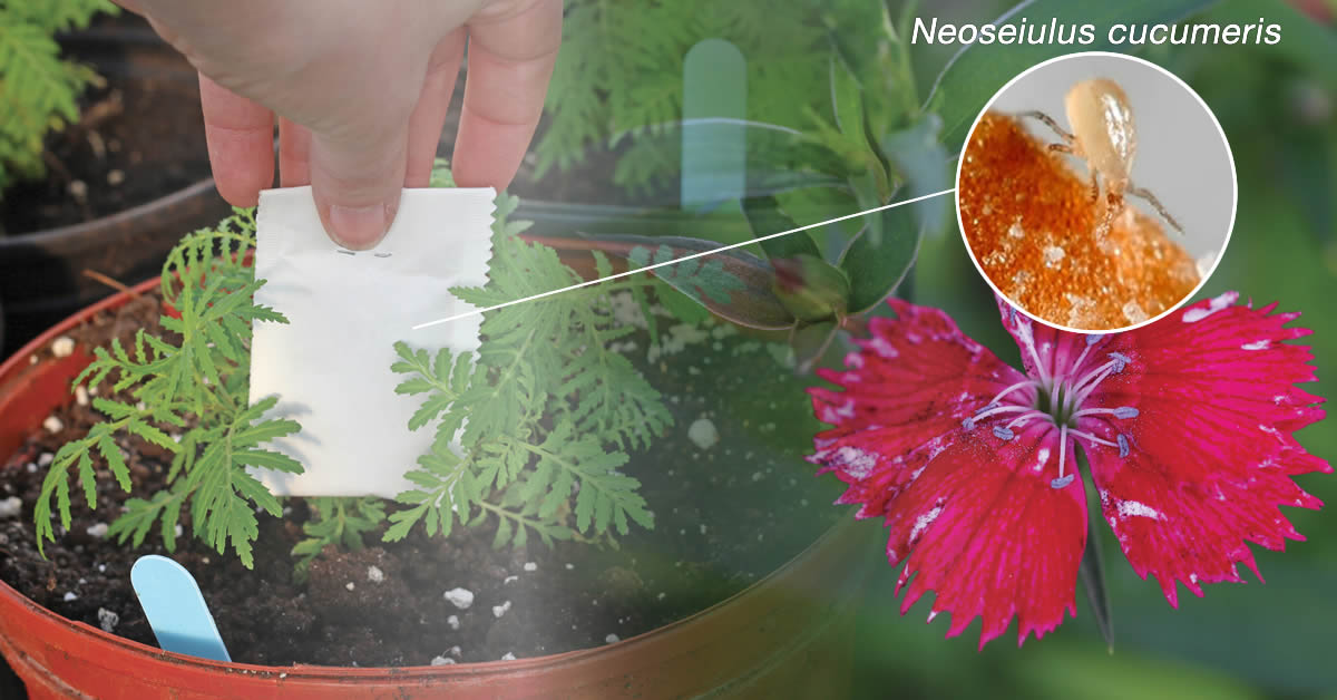 Application d'un sachet de cucumeris dans un pot de fleurs