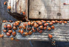 Group of convergent lady beetle (Hippodamia convergens)