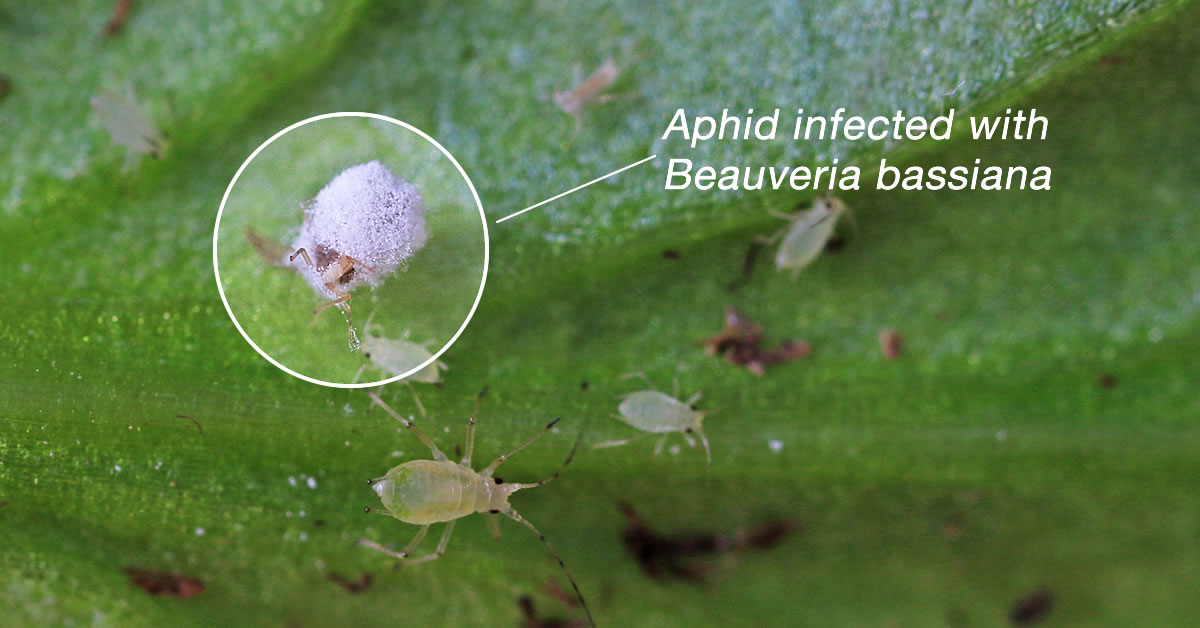 Beauveria bassiana infecting an aphid