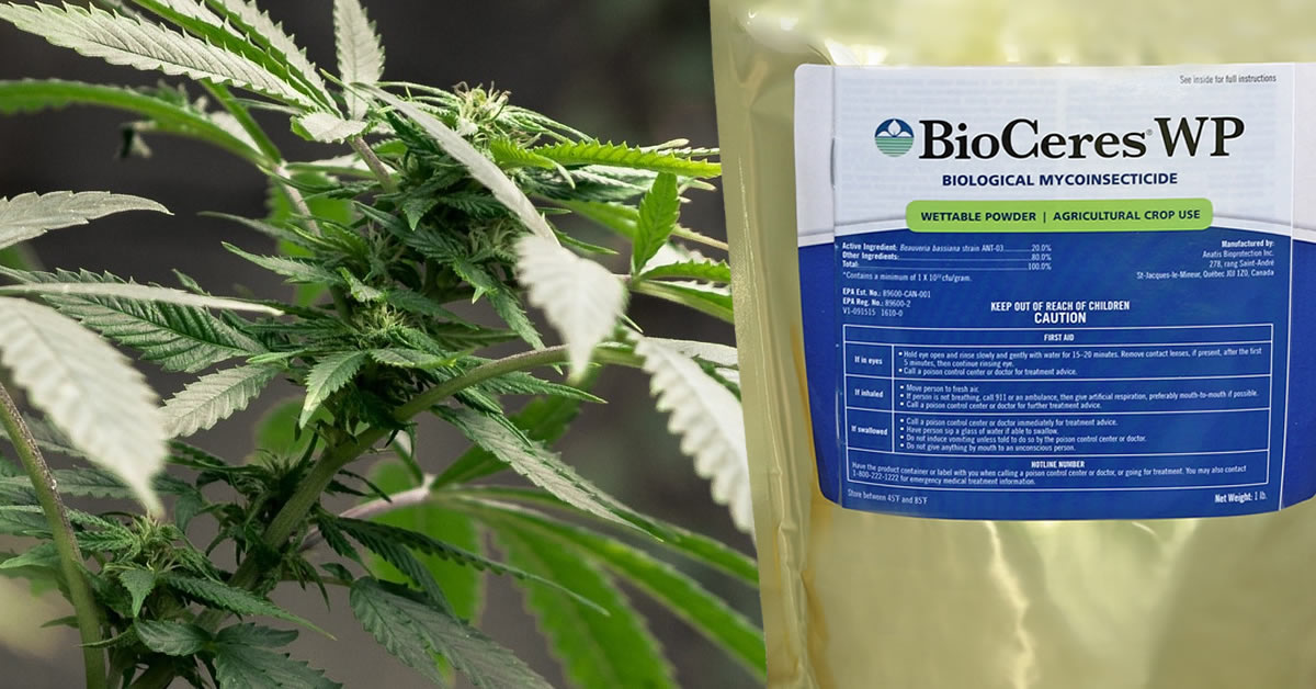 Medical cannabis plant with bio-insecticide bag BioCeres WP