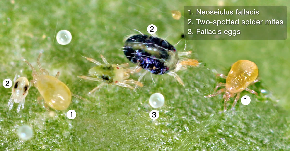 Neoseiulus fallacis, the predatory mite that eats two-spotted spider mites