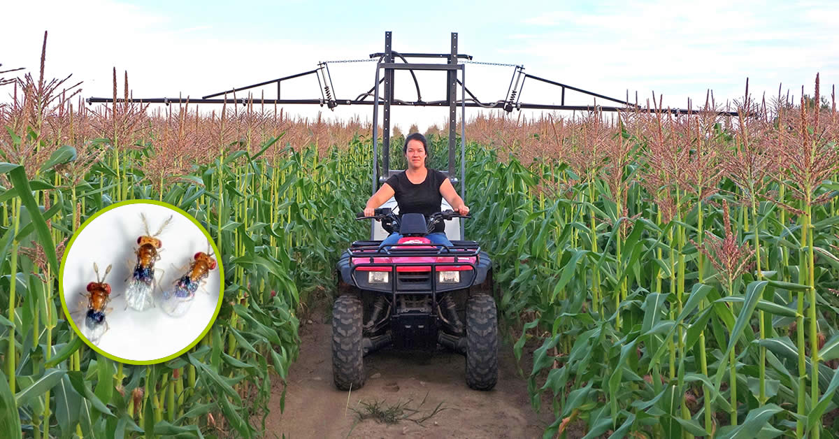 Woman on a motorized who mechanically sprays beneficial insects in the field