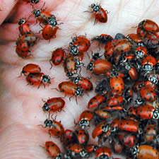 Ladybug a beneficial insect for the control of aphids in gardens and greenhouses