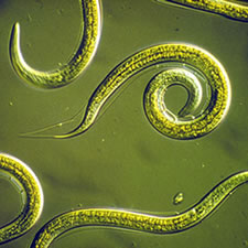 Nematodes parasites for many insect pests
