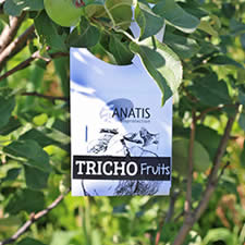 Trichogramma wasps card hang on a fruit tree to control pests in fruits