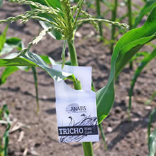 Trichogramma wasps card hang on a corn plant to control European corn borer